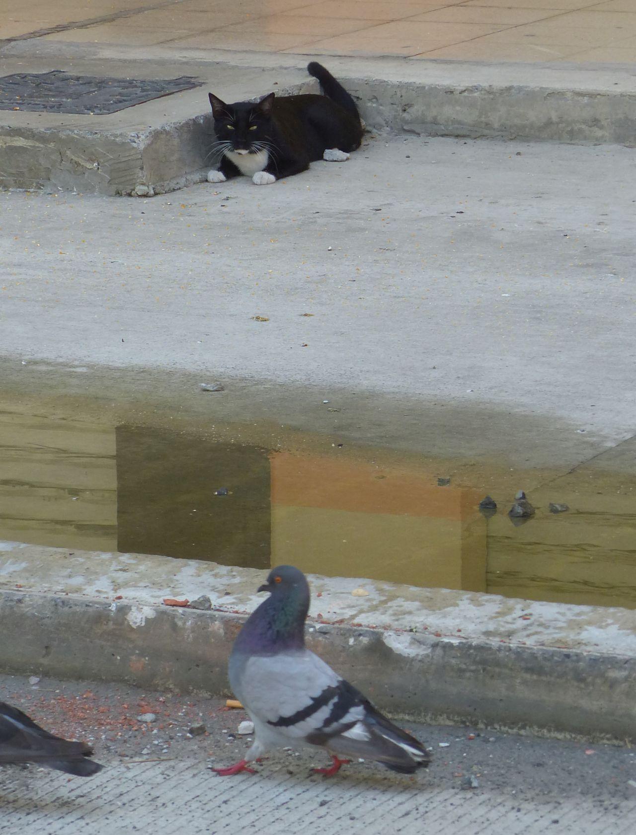P2980198 CAT WATCHING PIGEONS