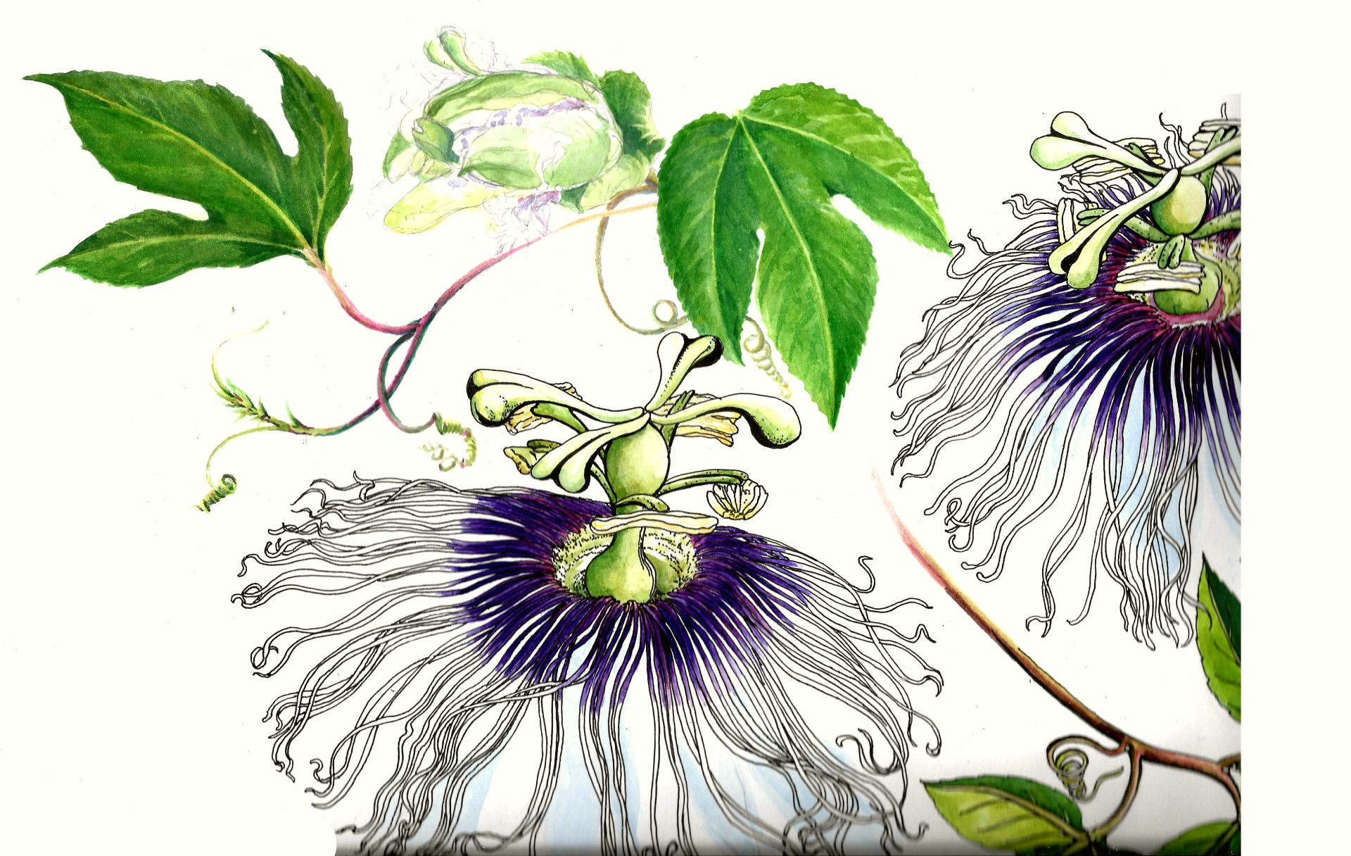 JPG MARACUYA with new old flower scan 3 contrast 25 percent