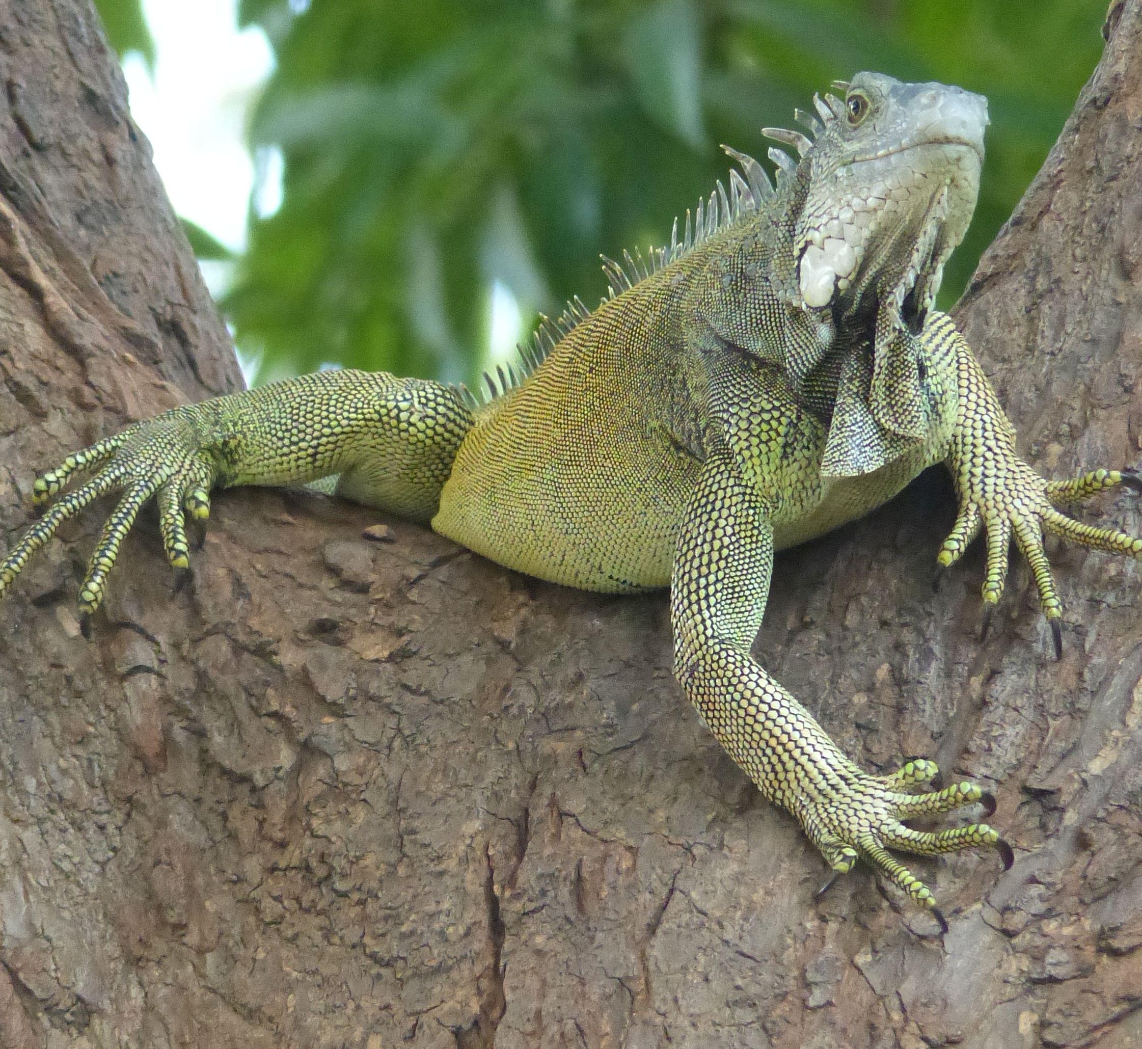 P2970725 iguana
