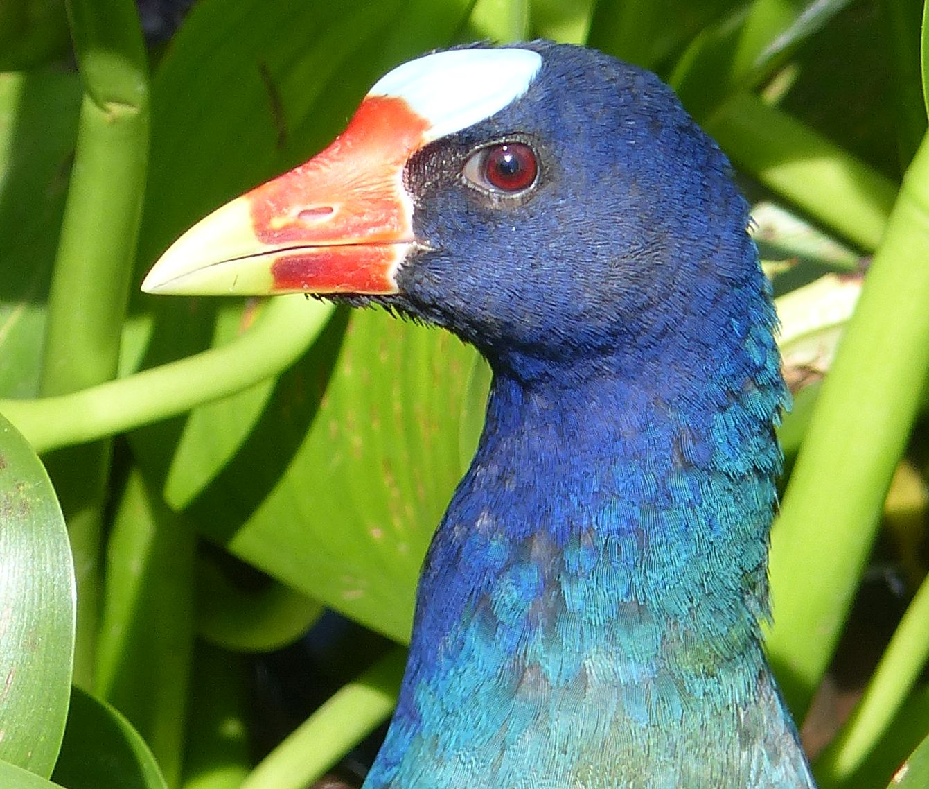P2980573 PURPLE GALLINULE eye detail