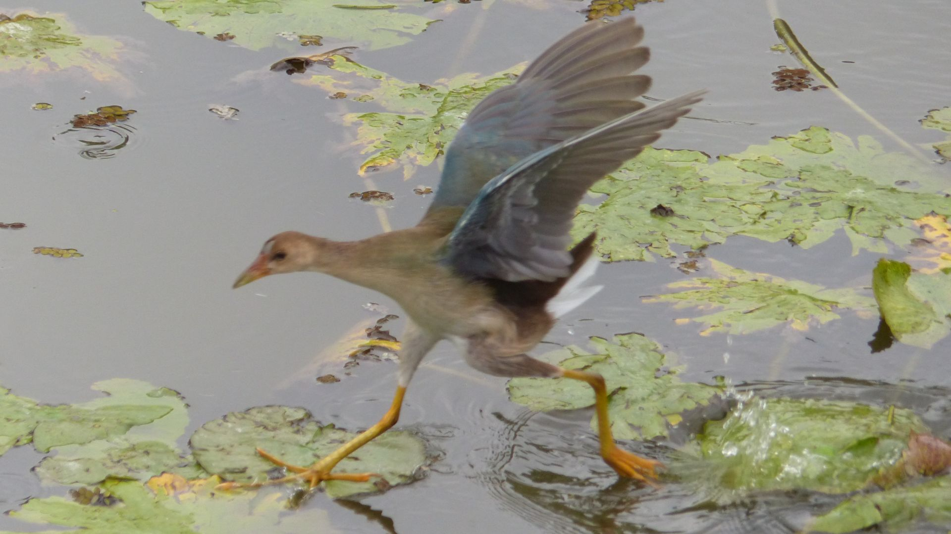 P2980810 global big day juv purple gallinule running on water