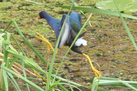P2980830 global big day p gallinule running on water