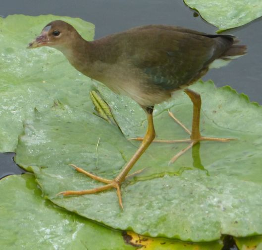 P2980933 global big day young gallinule
