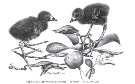 00 PURPLE GALLINULE CHICKLETS 600 to 300 dpi CROPPED