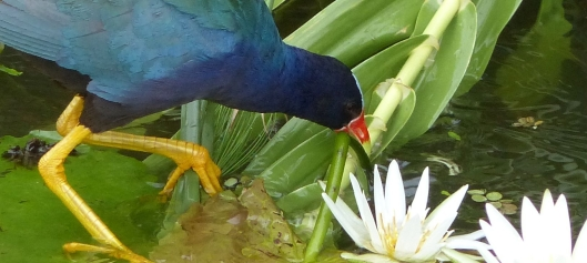P3000403 PURPLE GALLINULE FORAGING FOR Cr