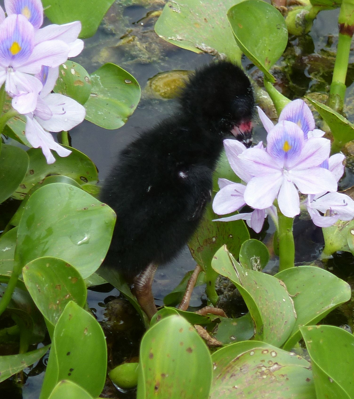 P3010016 june 4 baby gallinule peering into water hyacinth flower