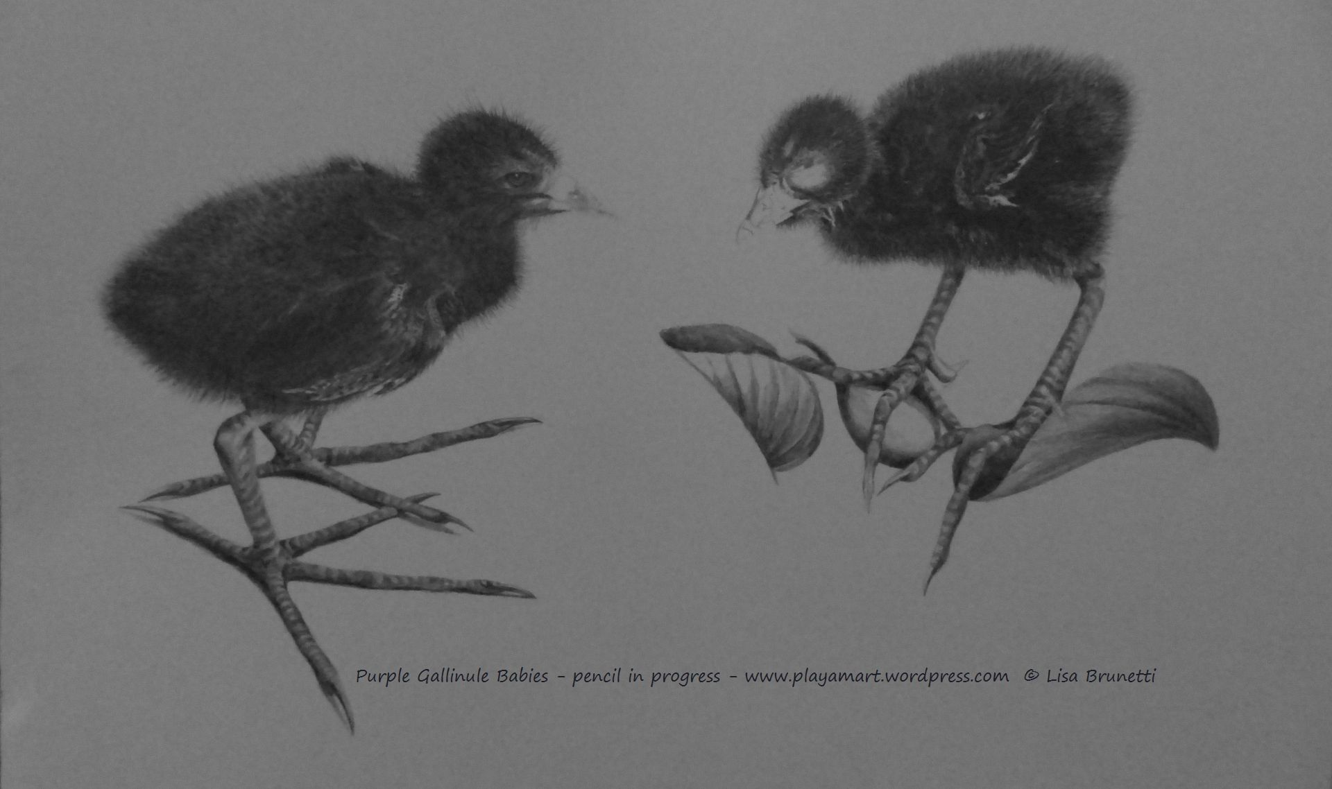 P3010989 BABY PURPLE GALLINULES pencil in progress