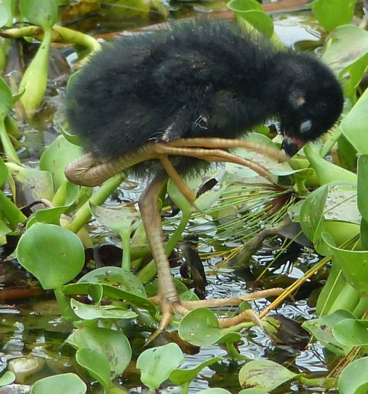 P3020177 june 9 baby gallinule foot detail
