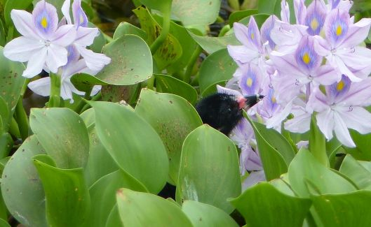 P3020244 BABY GALLINULE EATING WATER HYACINTH FLOWERS large file