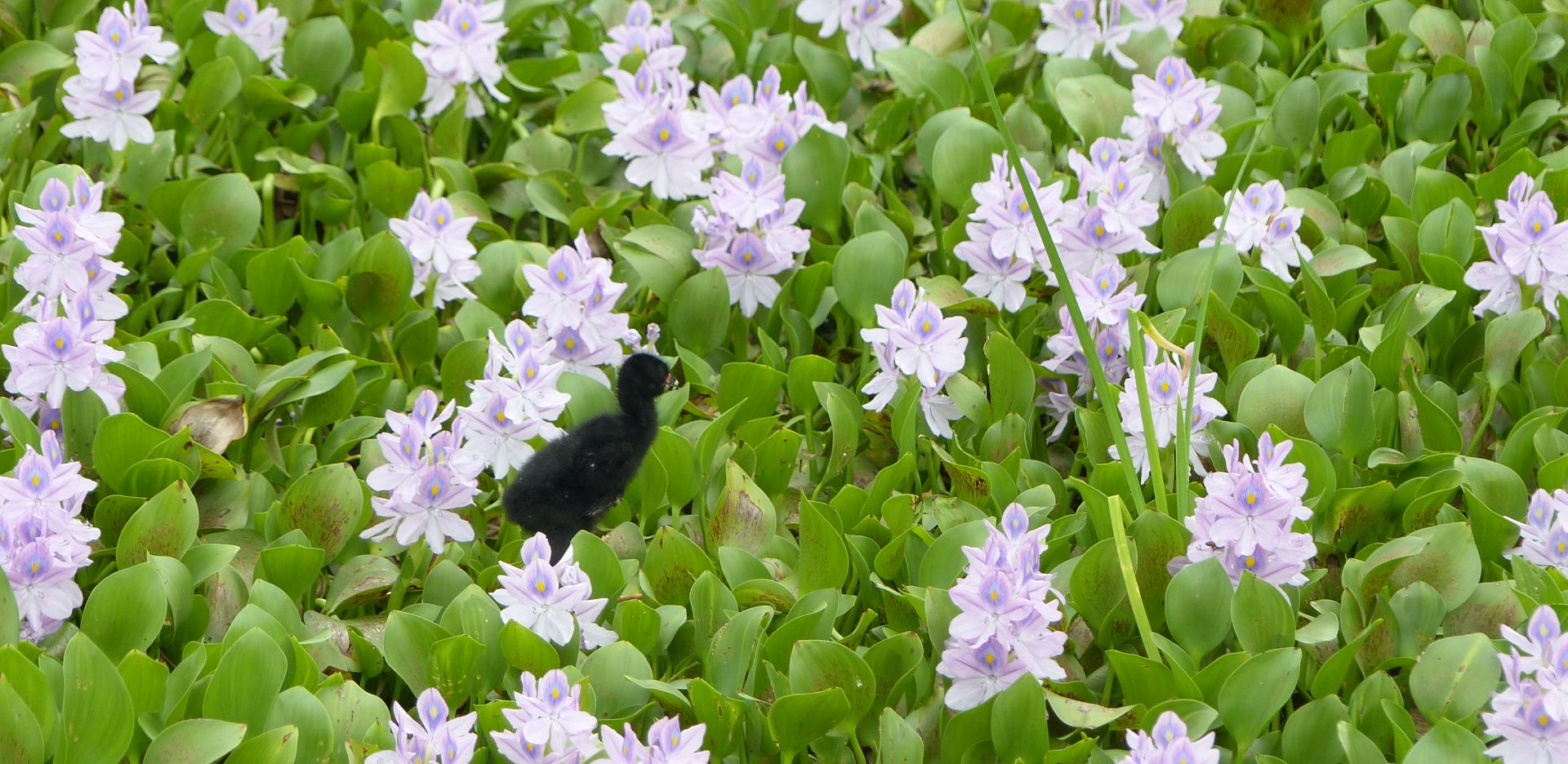 P3020265 june 9 baby gallinule in a playground of flowers