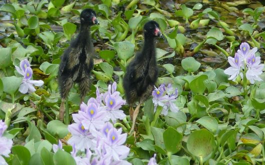 P3020357 baby purple gallinules in pajamas