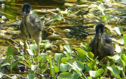 P3030055 JUNE 12 TWO BABY GALLINULES WITH CHANGING PLUMAGE