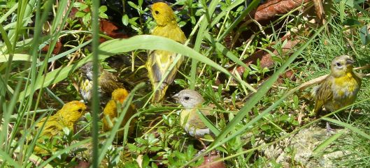 P3030505 6 SIX SAFFRON FINCHES