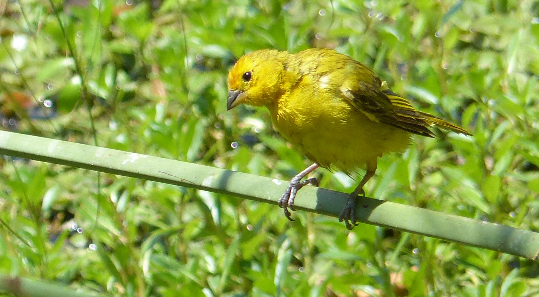 P3030540 SAFFRON FINCH yellow