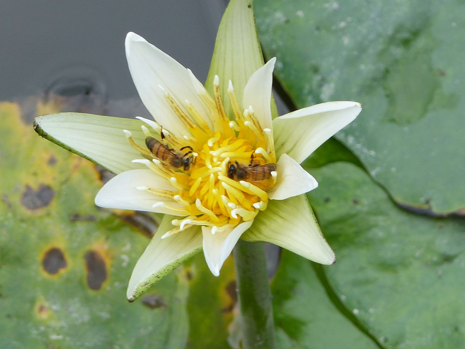 P3040273 HONEY BEES IN WATER LILY FLOWER