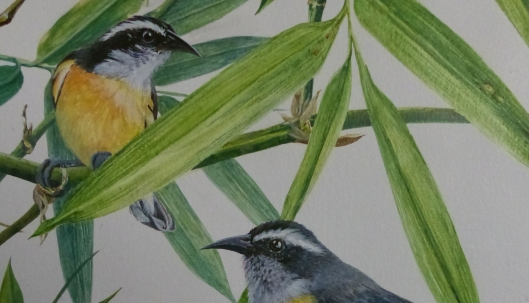 P2540046 Bananaquits y Bamboo cropped Acrylic