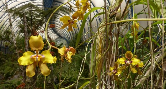 P2870749 yellow orchids