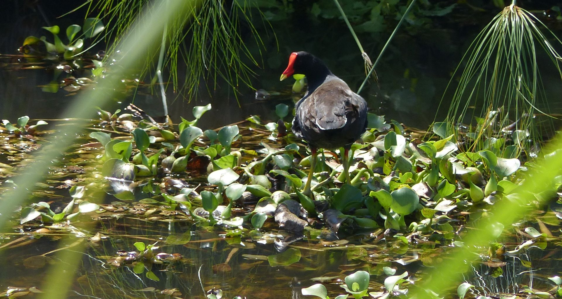 P2990182 gallinule common