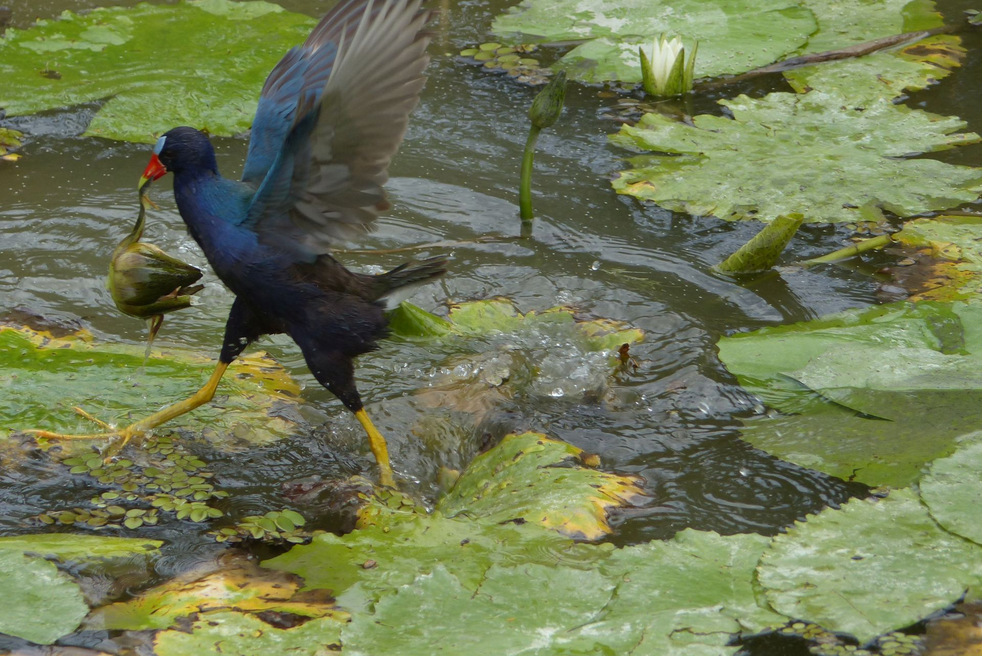 P3040235 YAY PURPLE GALLINULE RETRIEVES WATER LILY FRUIT