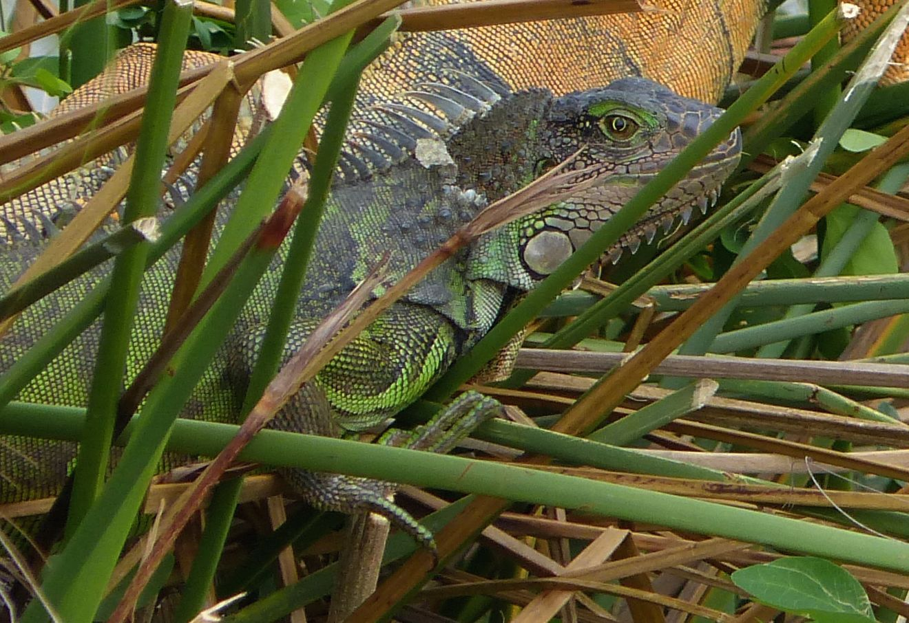 P3050271 iguana w green eye shadow