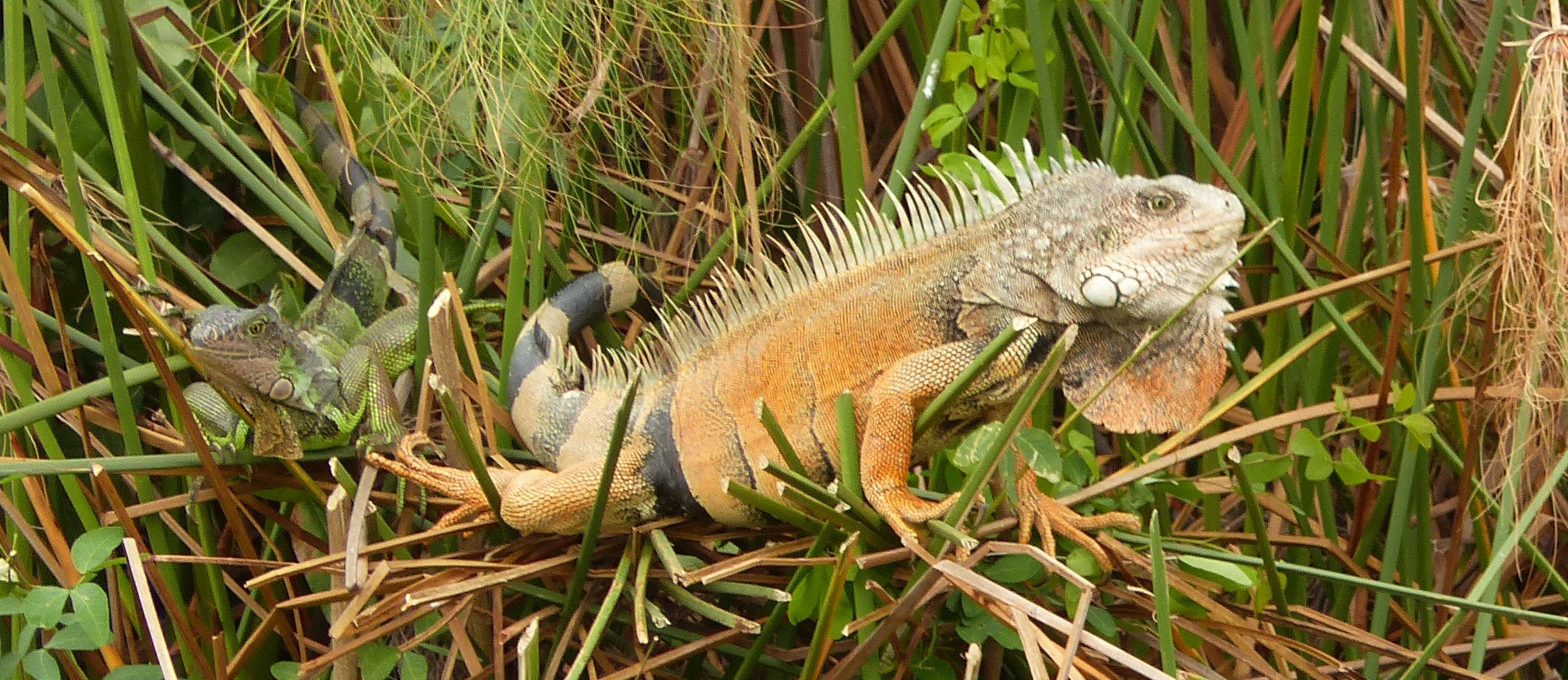 P3050392 solstice noon hour iguanas