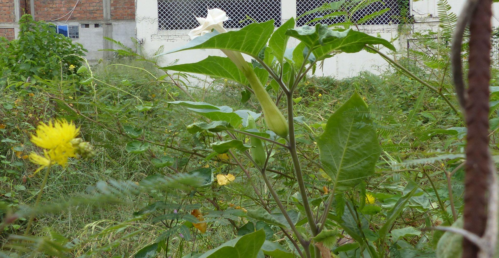 P3050438 datura jimson weed