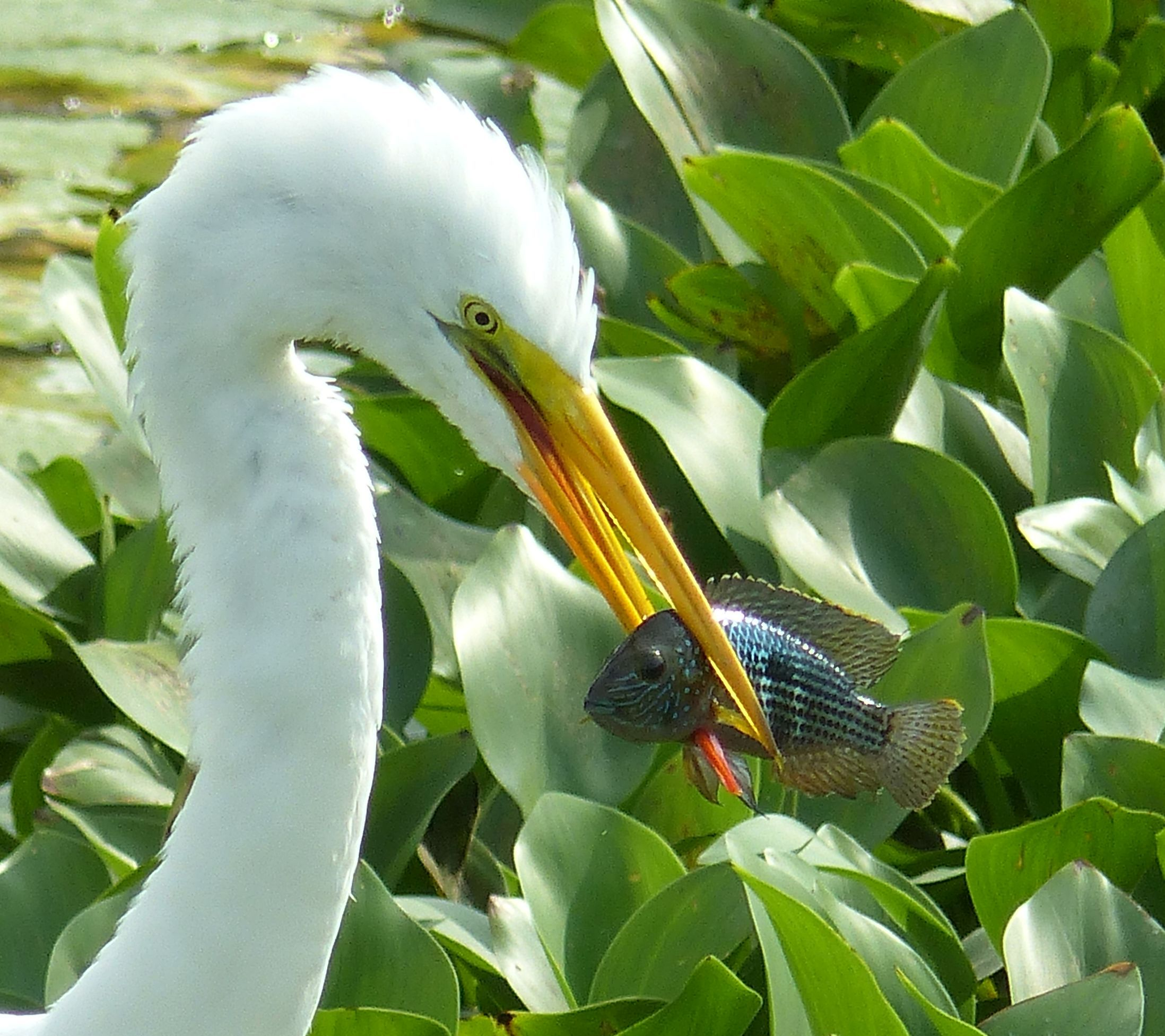 P3060208 great egret catches fish portoviejo