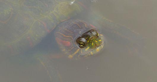 P3060507 red slider turtle