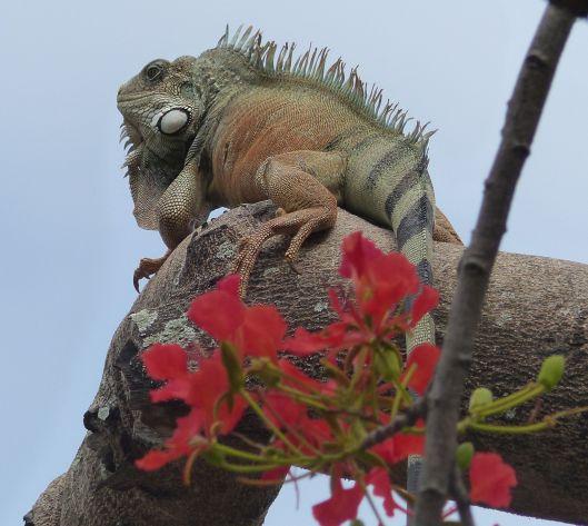 P3050466 look up iguana