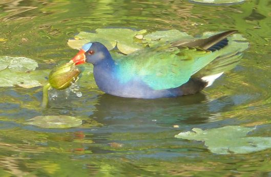 P3080564 5 30 LIGHT GALLINULE